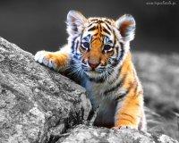 tygryskowy las